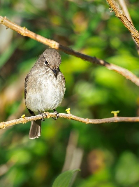 African fly catcher