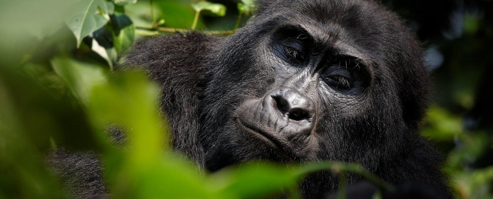 Congo Safaris