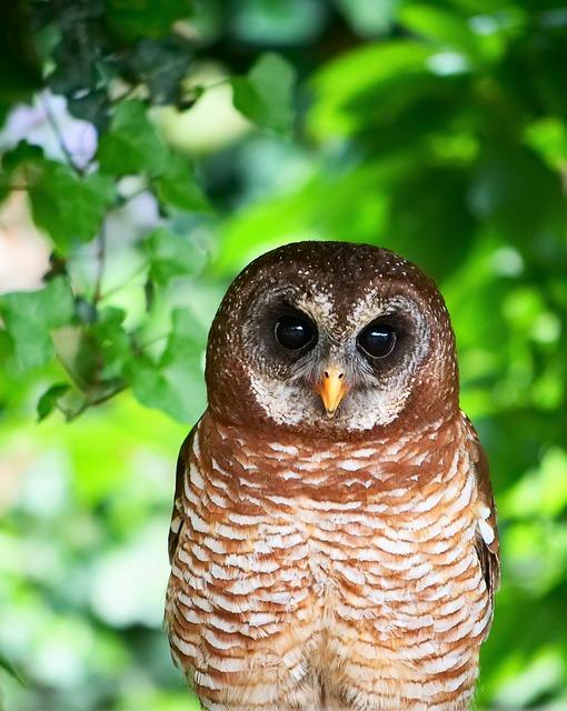 African Owl Bird