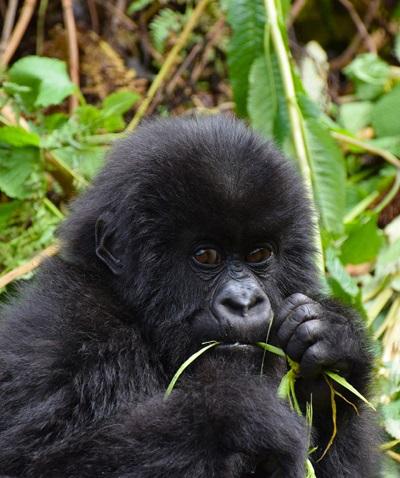 young uganda gorilla