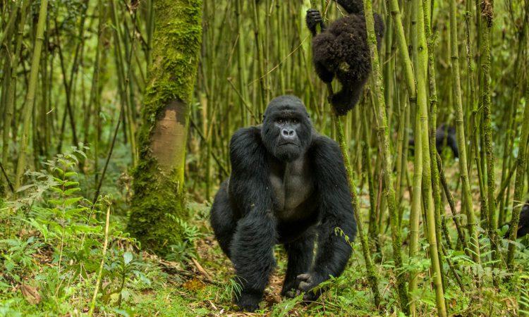 Gorilla Holidays in Uganda