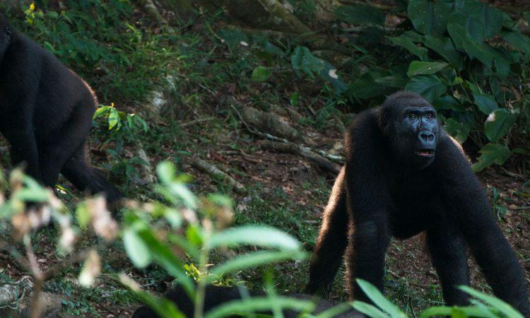 Lowland Gorilla Trekking in DRC Congo
