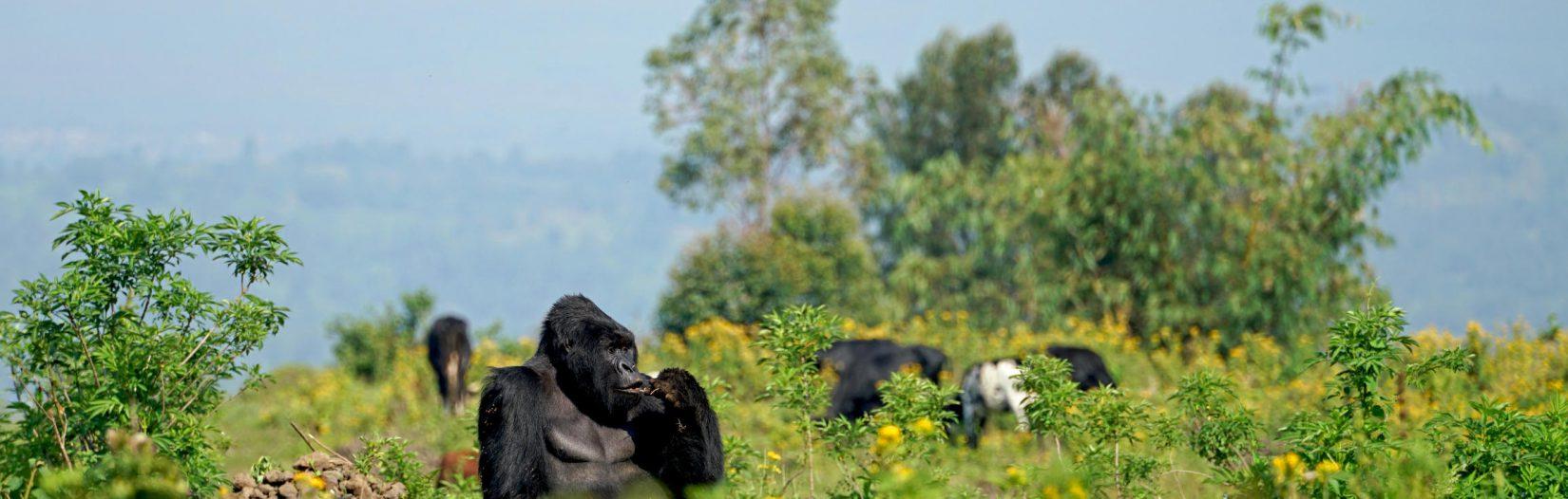 What to expect Gorilla Trekking in Rwanda