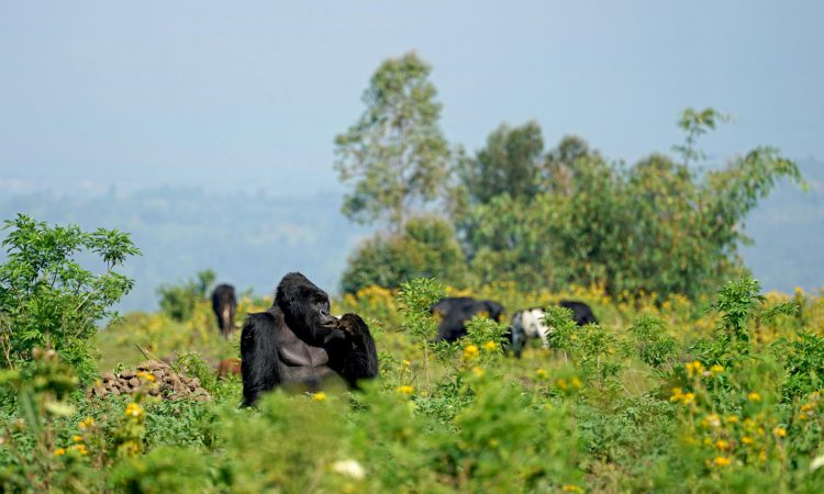 What to expect Gorilla Trekking in Rwanda