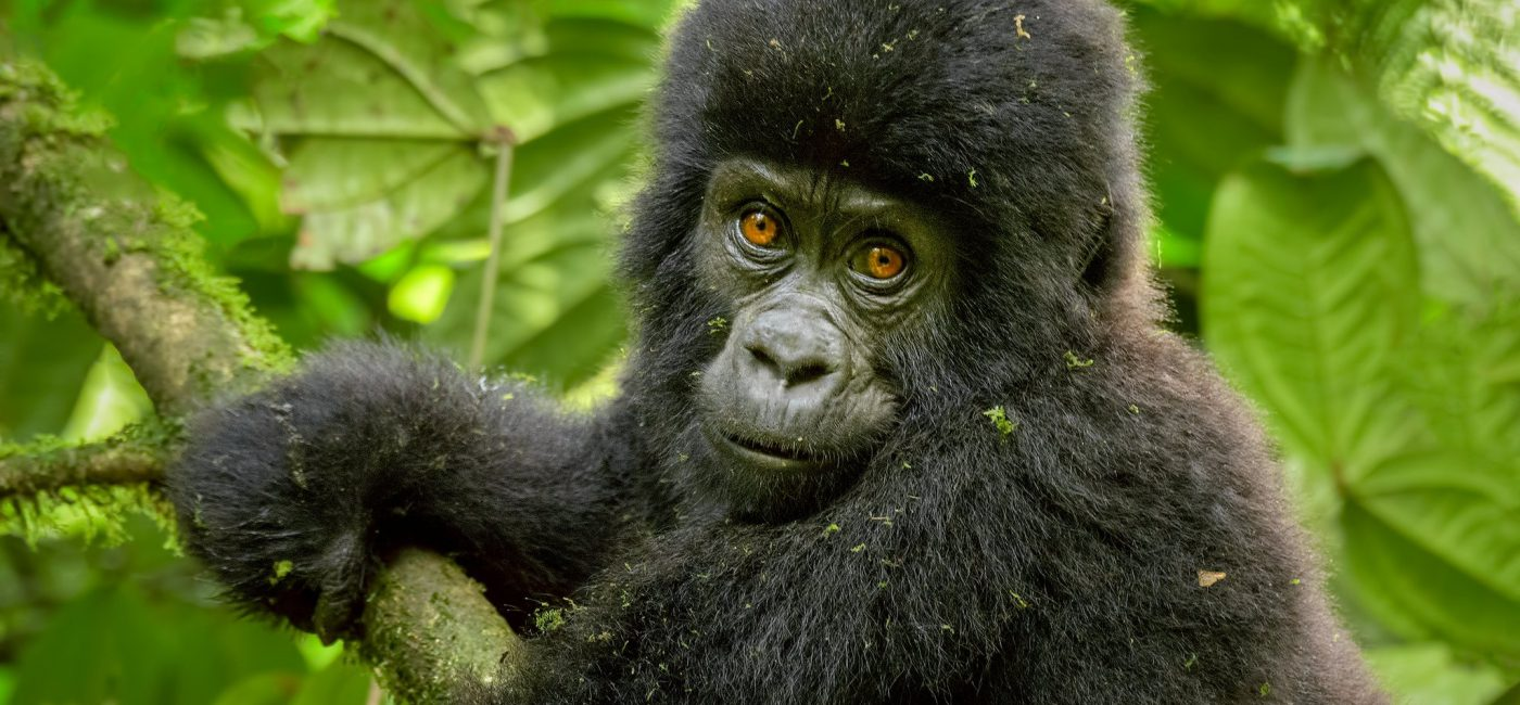What to expect Gorilla Trekking in Uganda