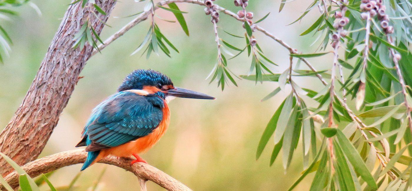 Kingfisher Uganda Bird