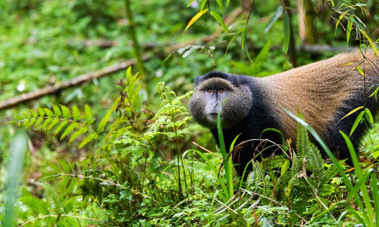 Golden Monkey Tracking in Uganda