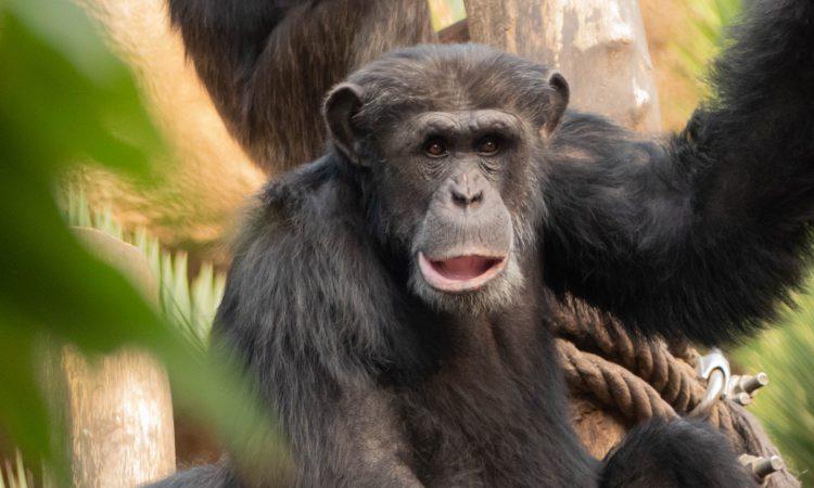 Chimpanzee Trekking in Kibale Forest Uganda
