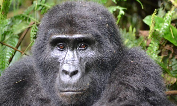 Where to buy Gorilla Permits for Uganda, Rwanda & Congo